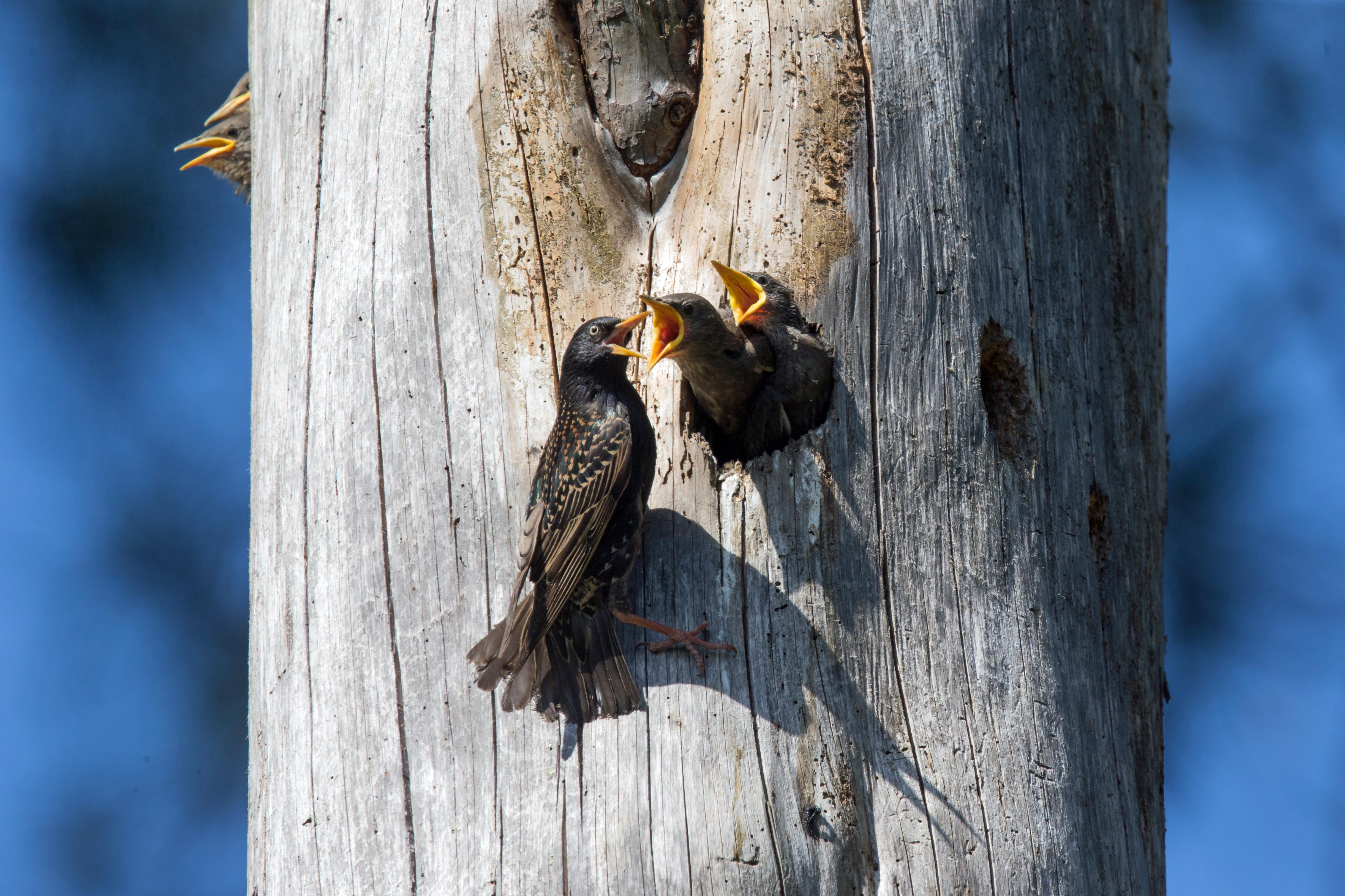Etourneaux au nid