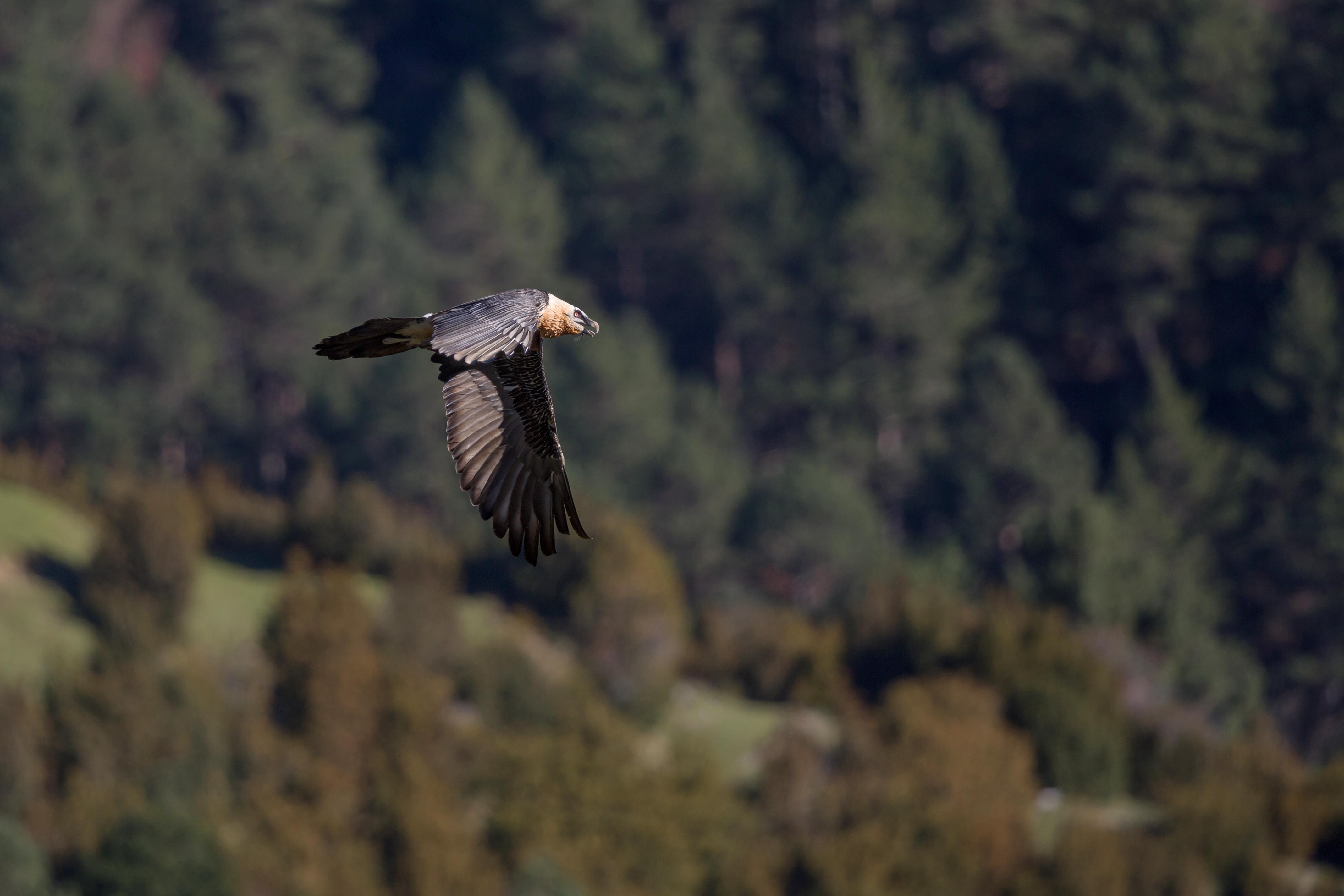 Gypaète barbu - Pyrénées