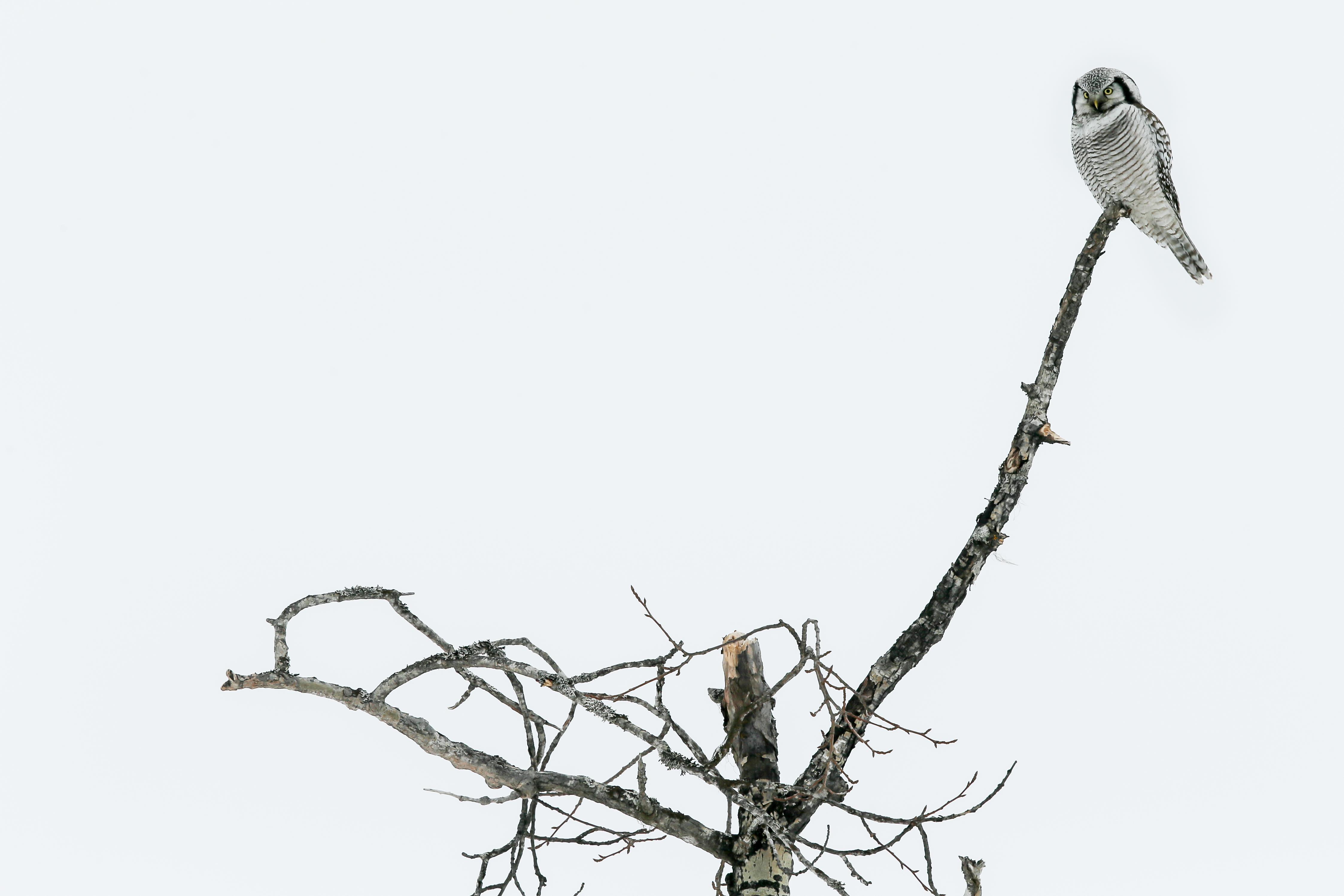 Chouette épervière - Finlande