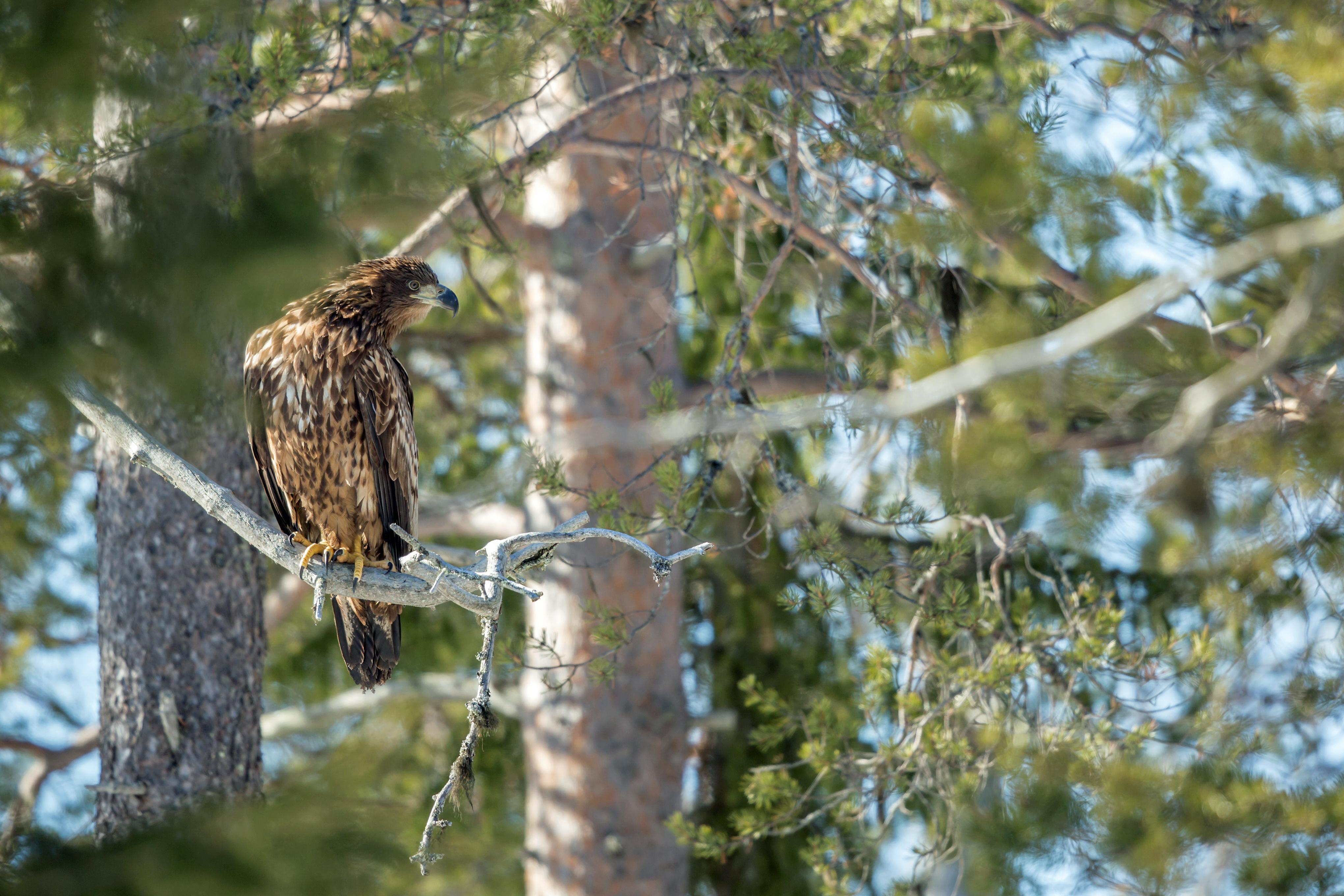 Aigle royal - Finlande