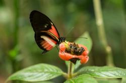 Heliconius sp - Costa Rica