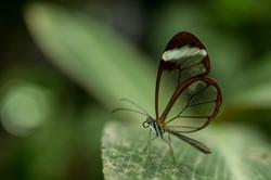 Greta oto - Costa Rica