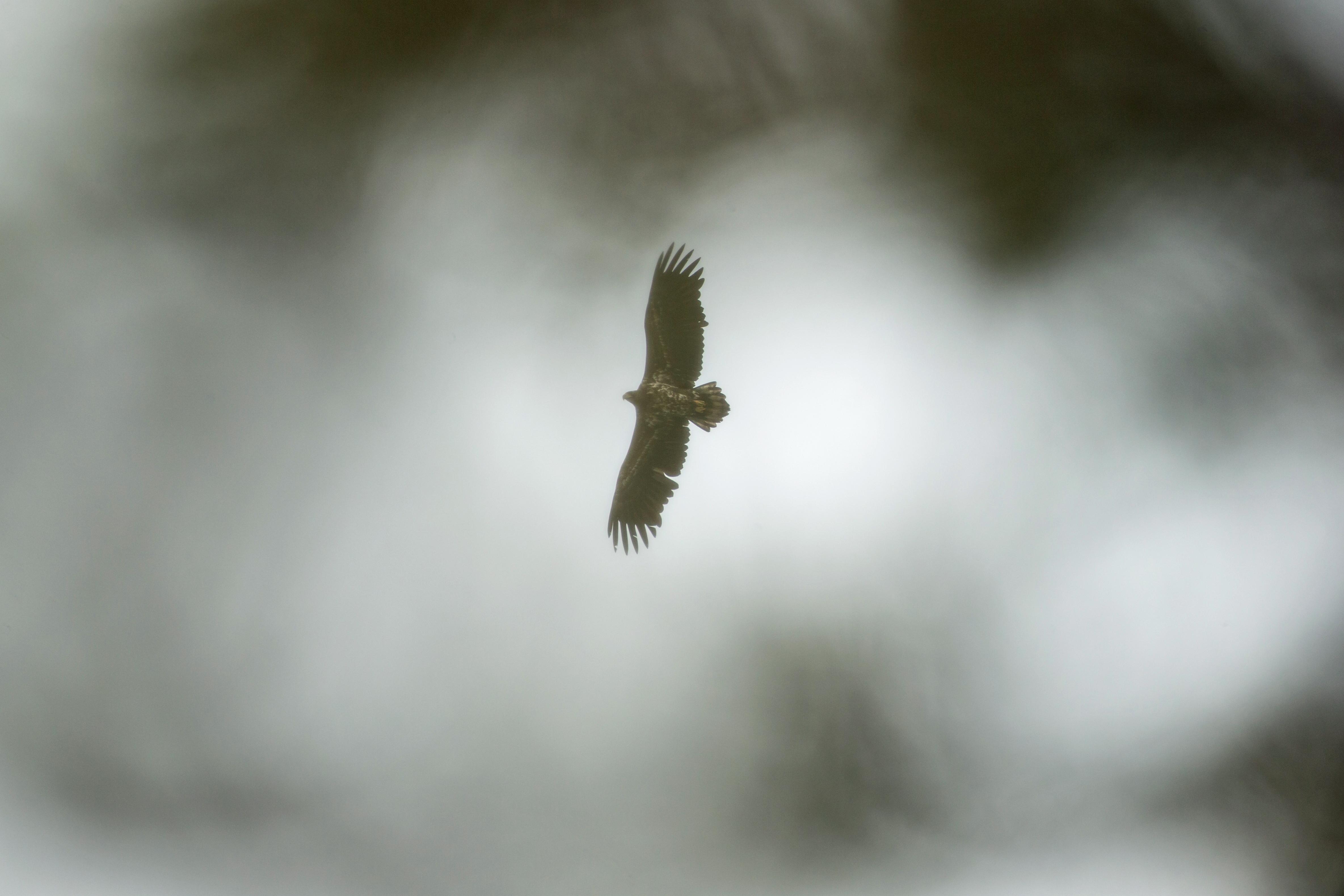 Pygargue à queue blanche - Finlande