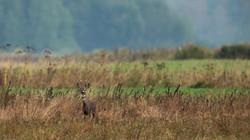 Chevreuil mâle - Pologne