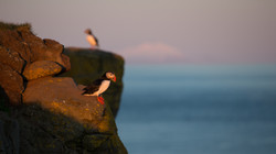 Macareux moine - Islande