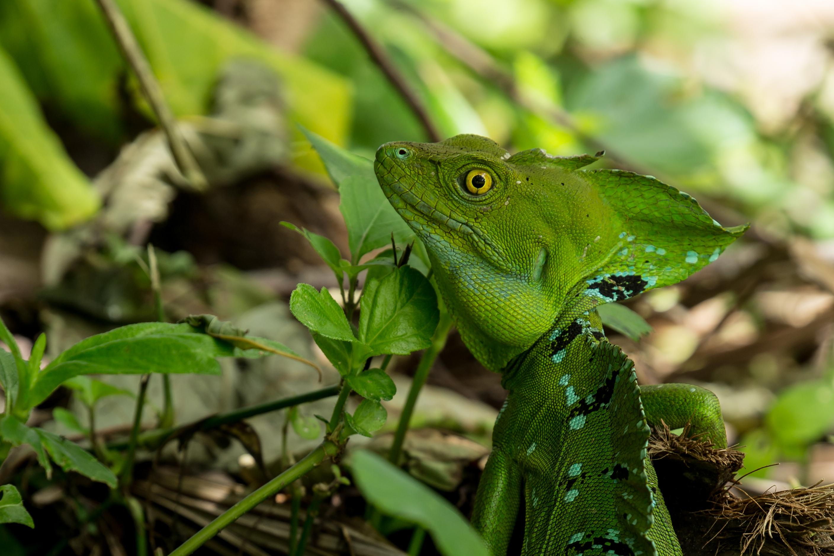 Basilic à plumes - Costa Rica