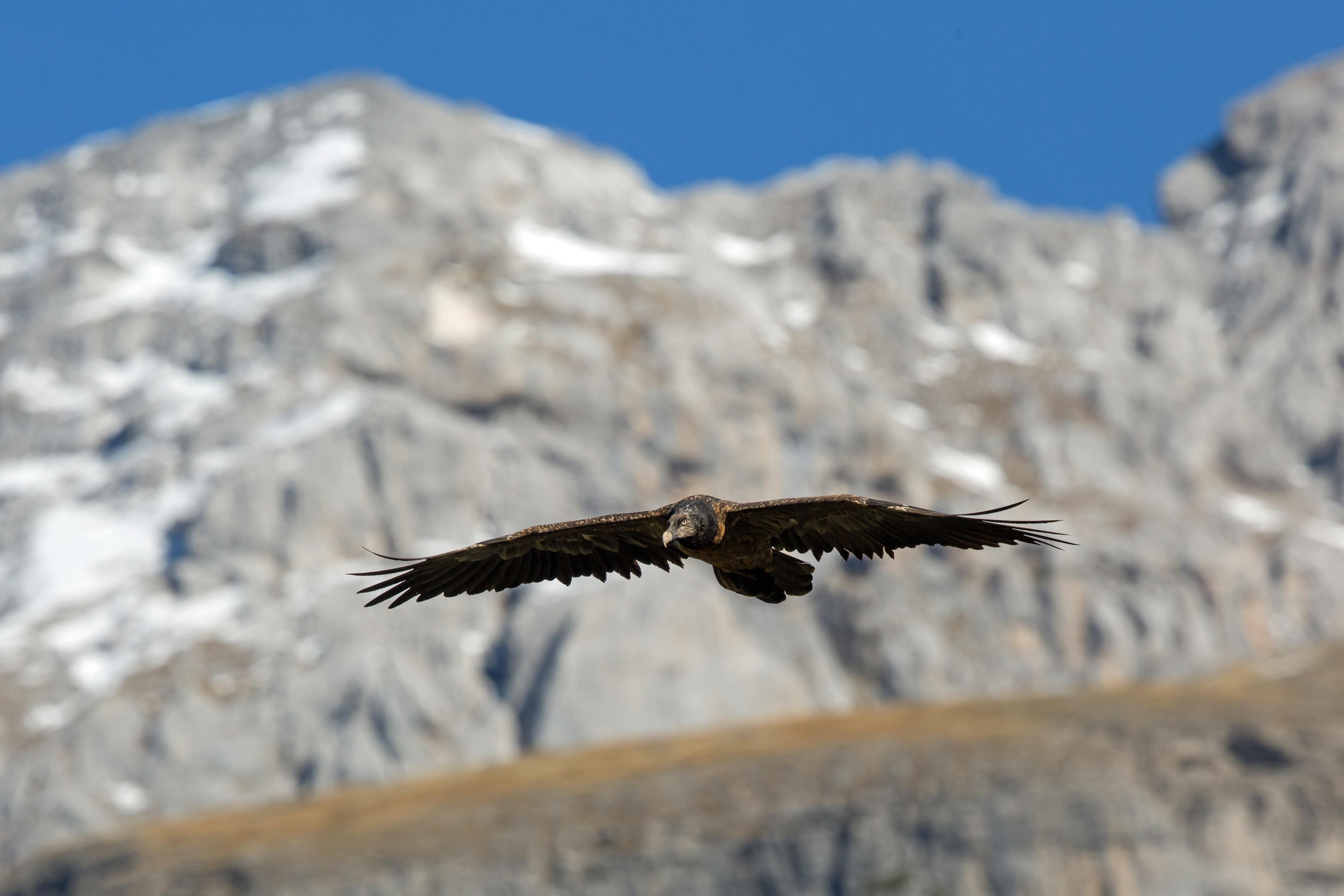 Gypaète barbu juvénile - Pyrénées