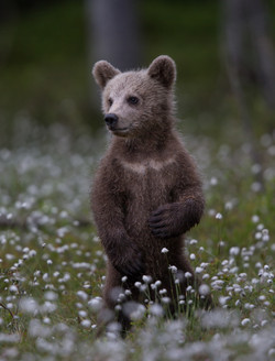 Ours brun - David Wolberg
