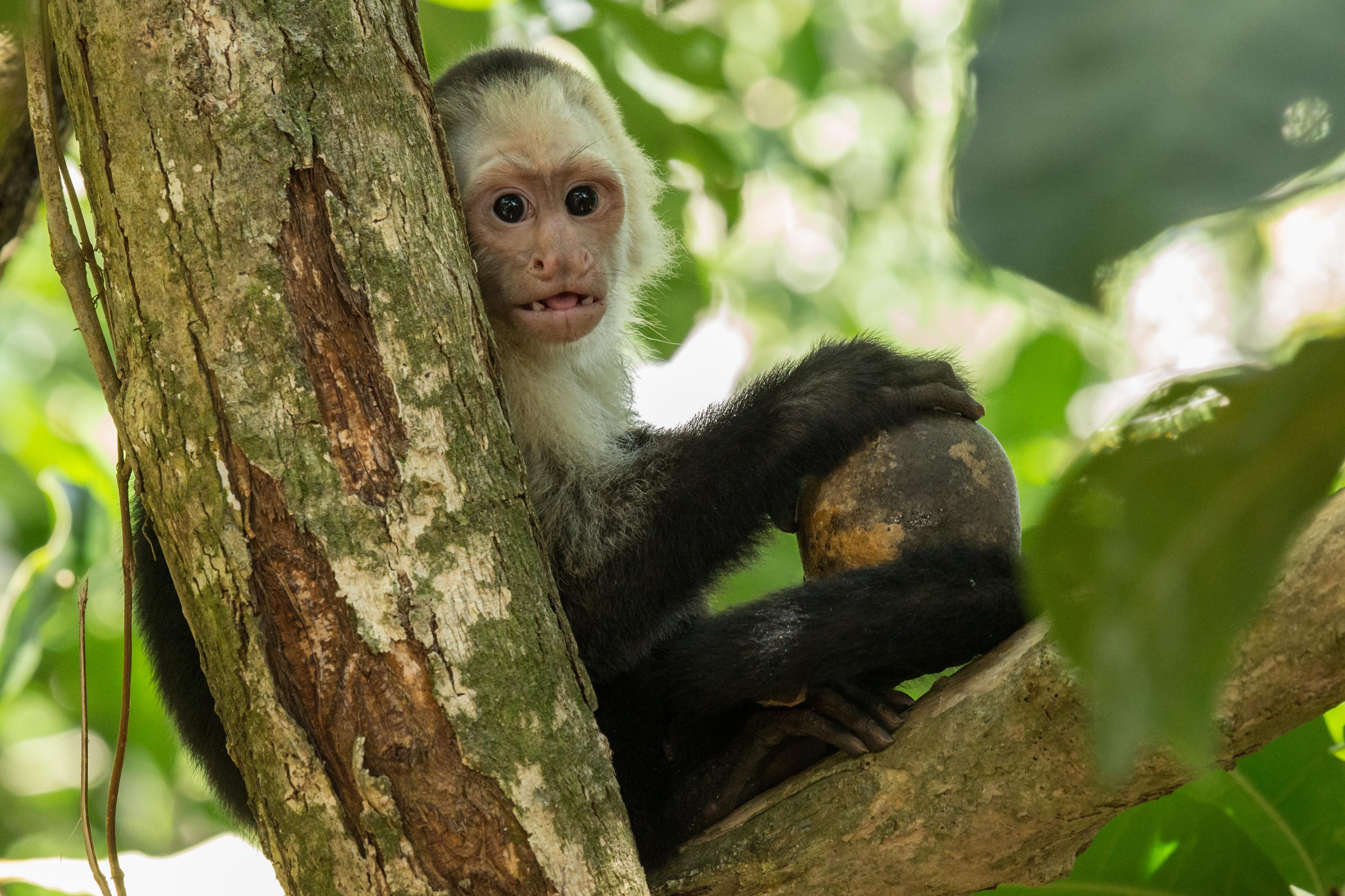 Sapajou capucin - Costa Rica