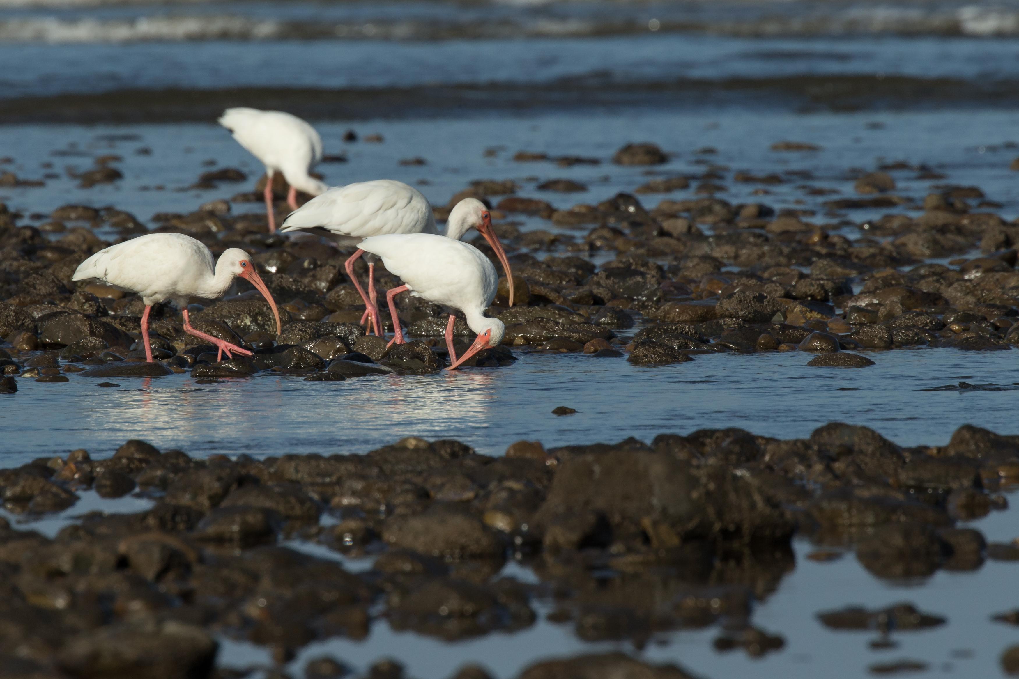 Ibis blanc - Costa Rica