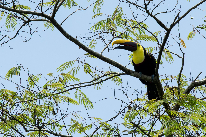 Toucan de Swainson - Costa Rica