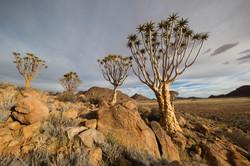 Aloe dichotoma - David Wolberg