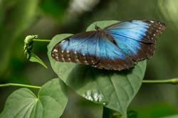Morpho peleides - Costa Rica
