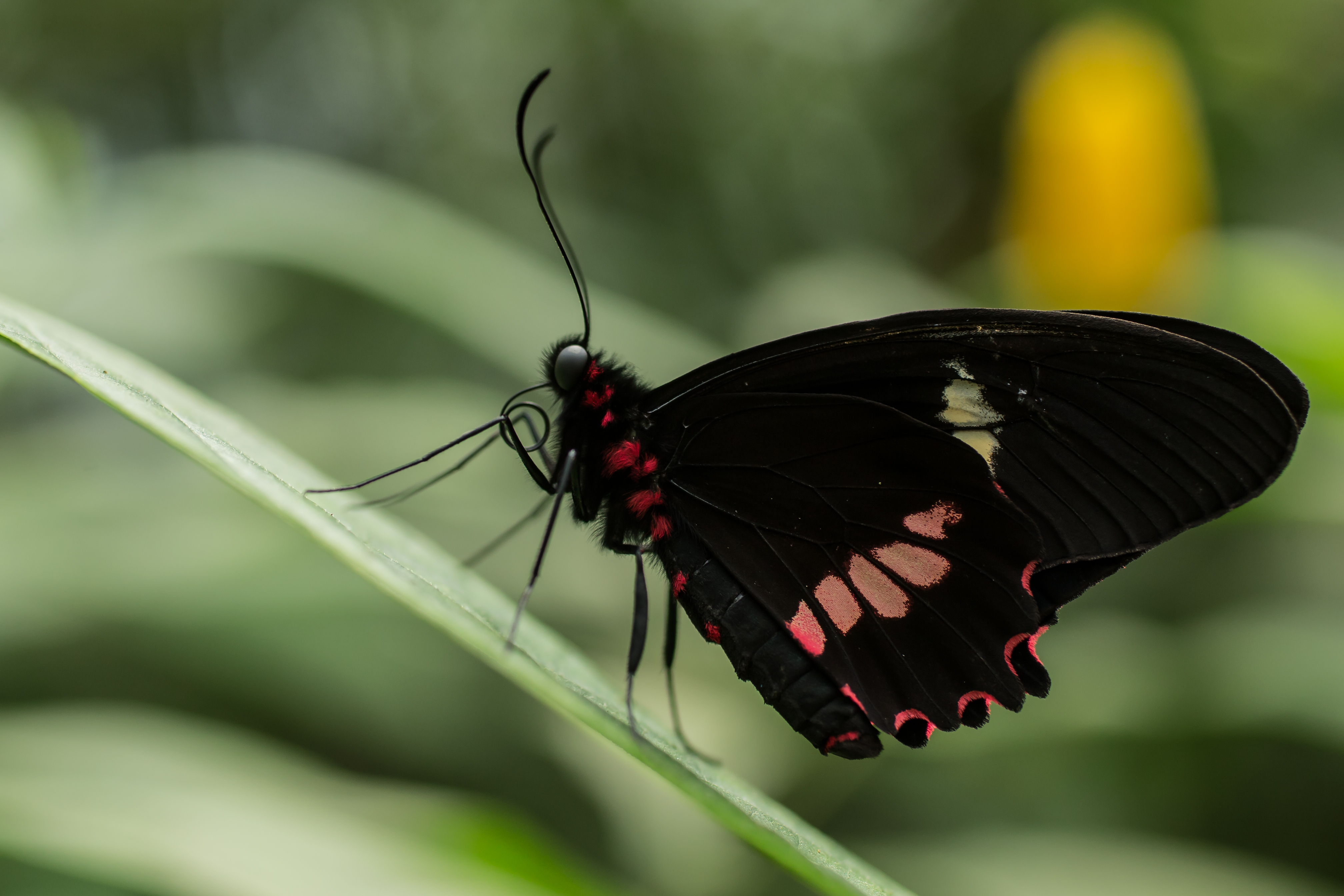 Parides childrenae - Costa Rica