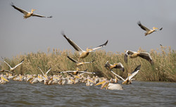 Pélican blanc au Djoudj