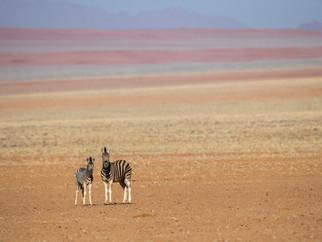 "Namibie - 2015 ""Zèbres du désert"""