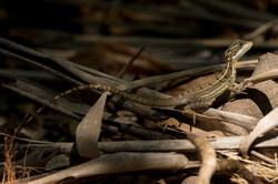 Basilic juvénile - Costa Rica