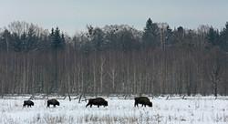Bison d'Europe