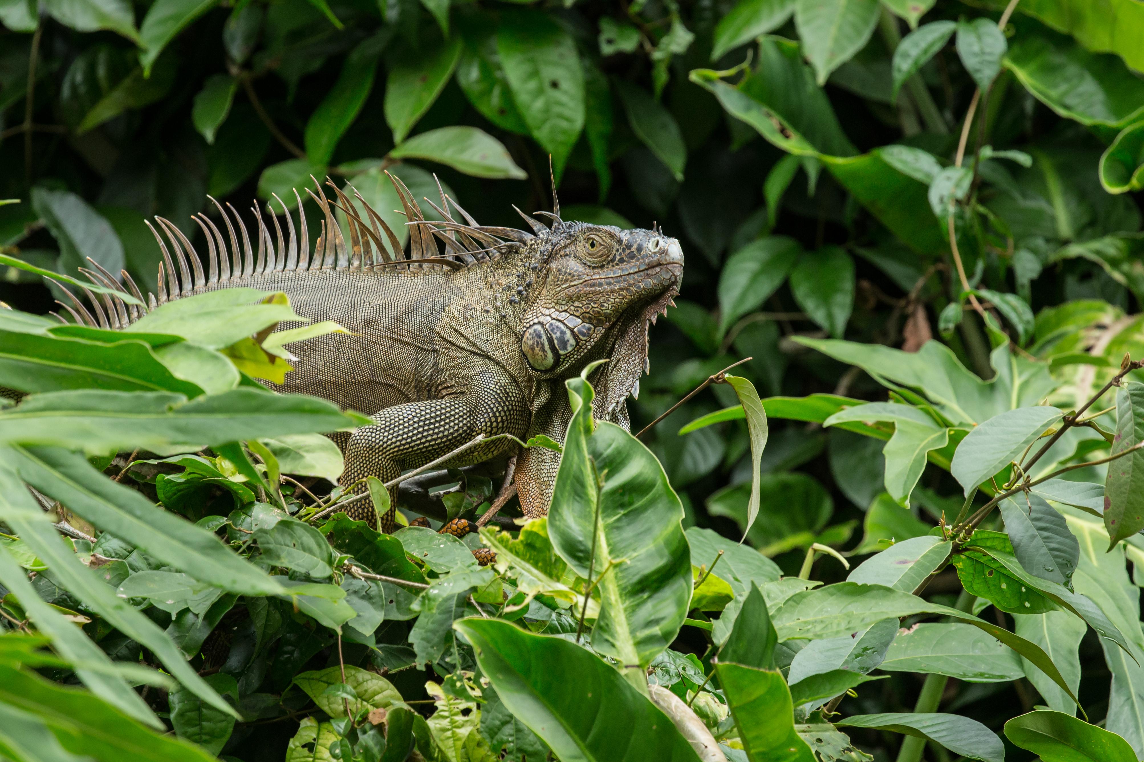 Iguane vert - Costa Rica