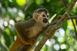 Saïmiri à dos roux - Costa Rica