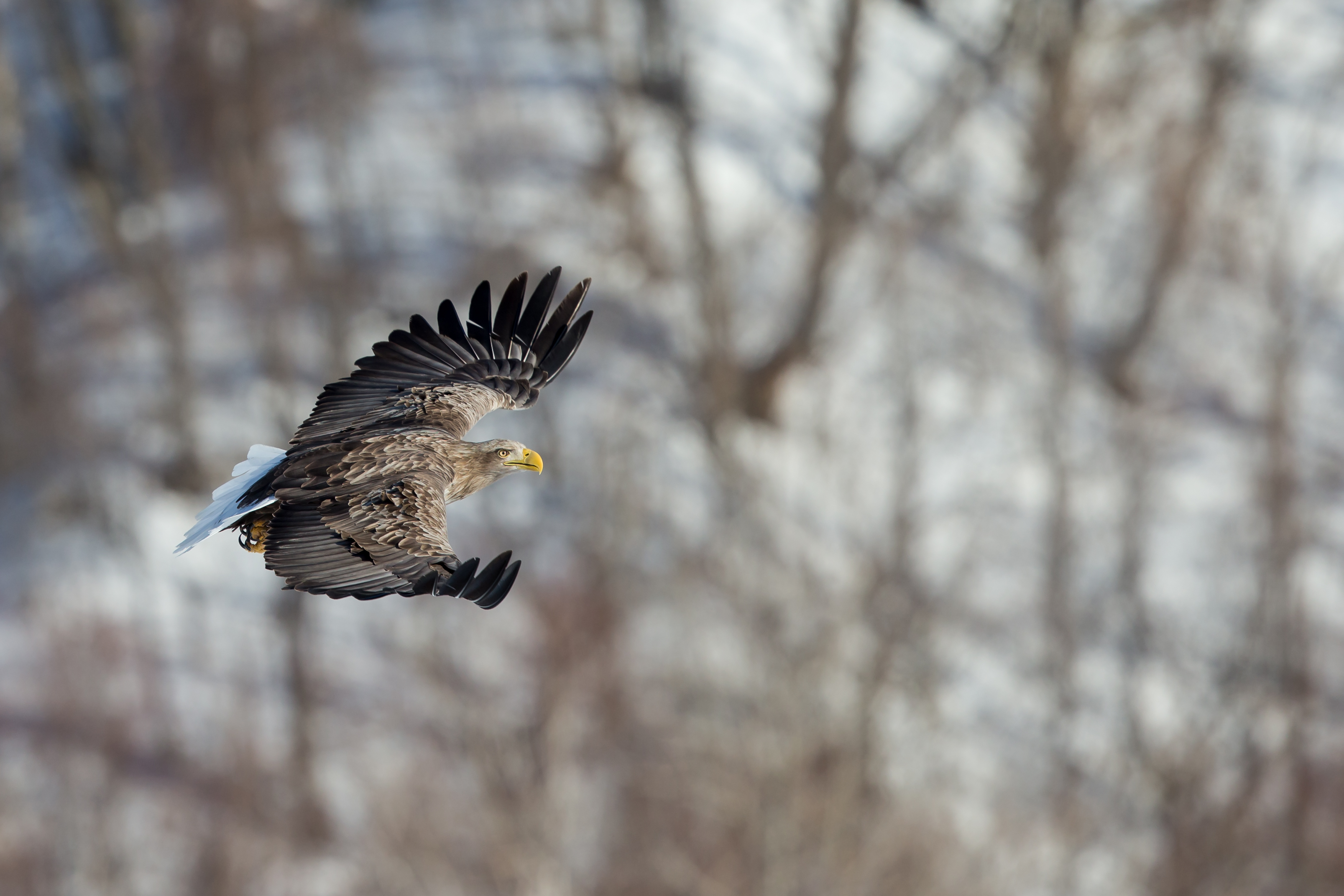 Pygargue à queue blanche - Hokkaido