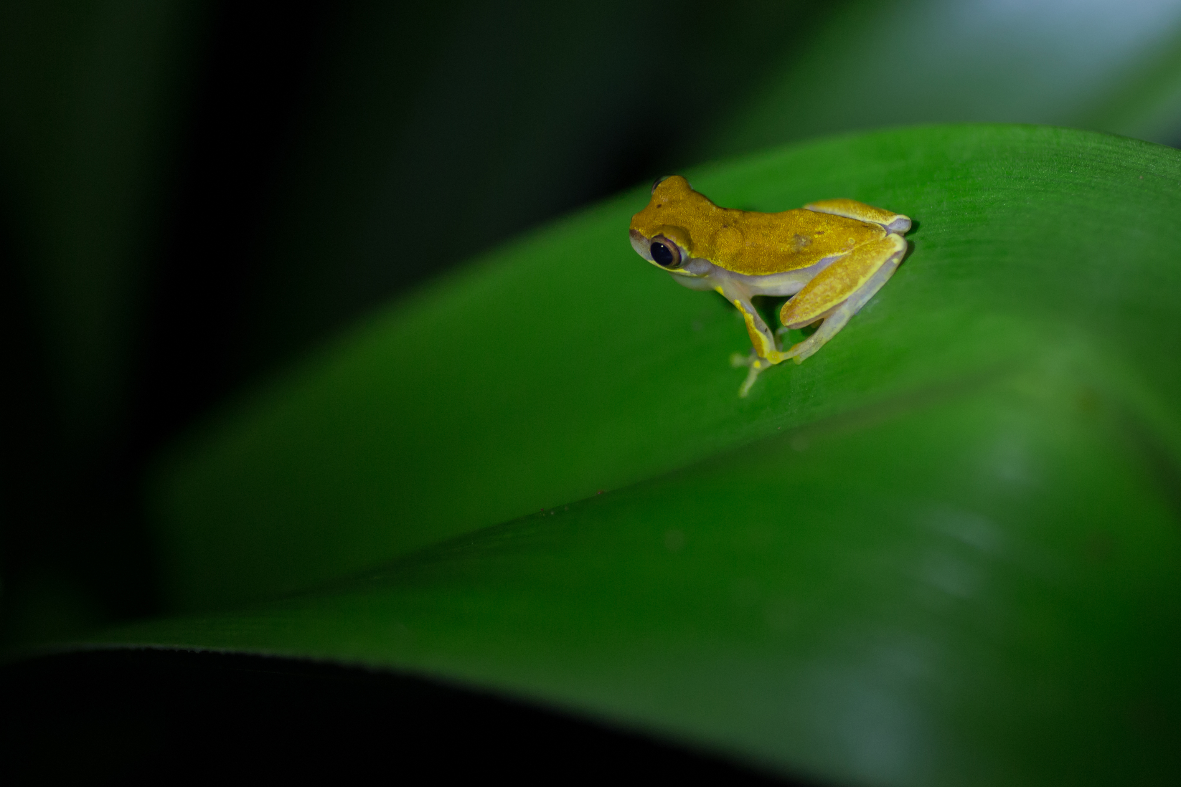 Rana sp - Costa Rica