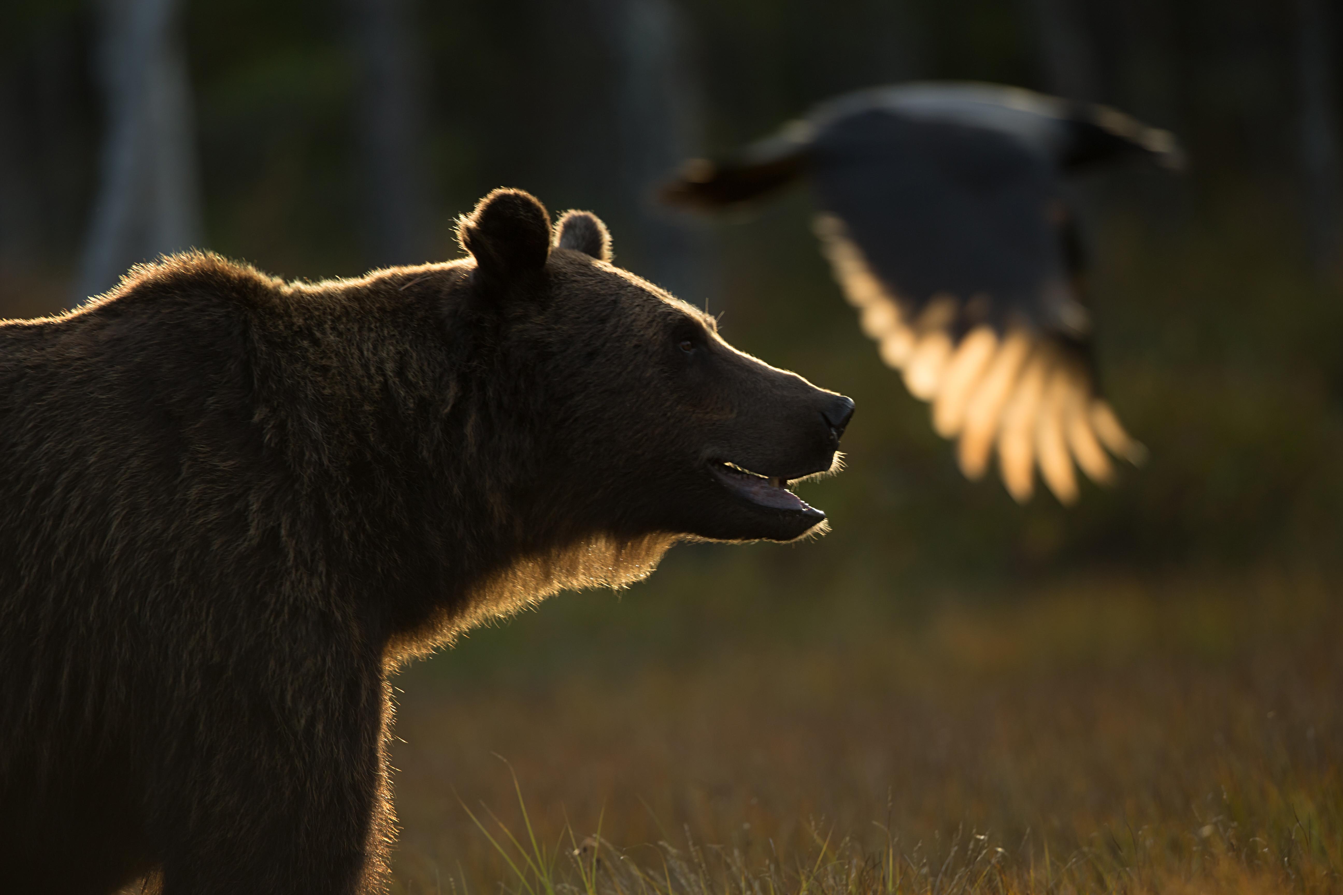 Ours brun et Corneille mantelé