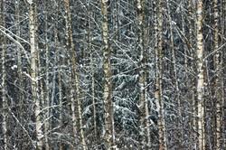 Forêt de Bialowieza