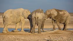 Les éléphants du désert