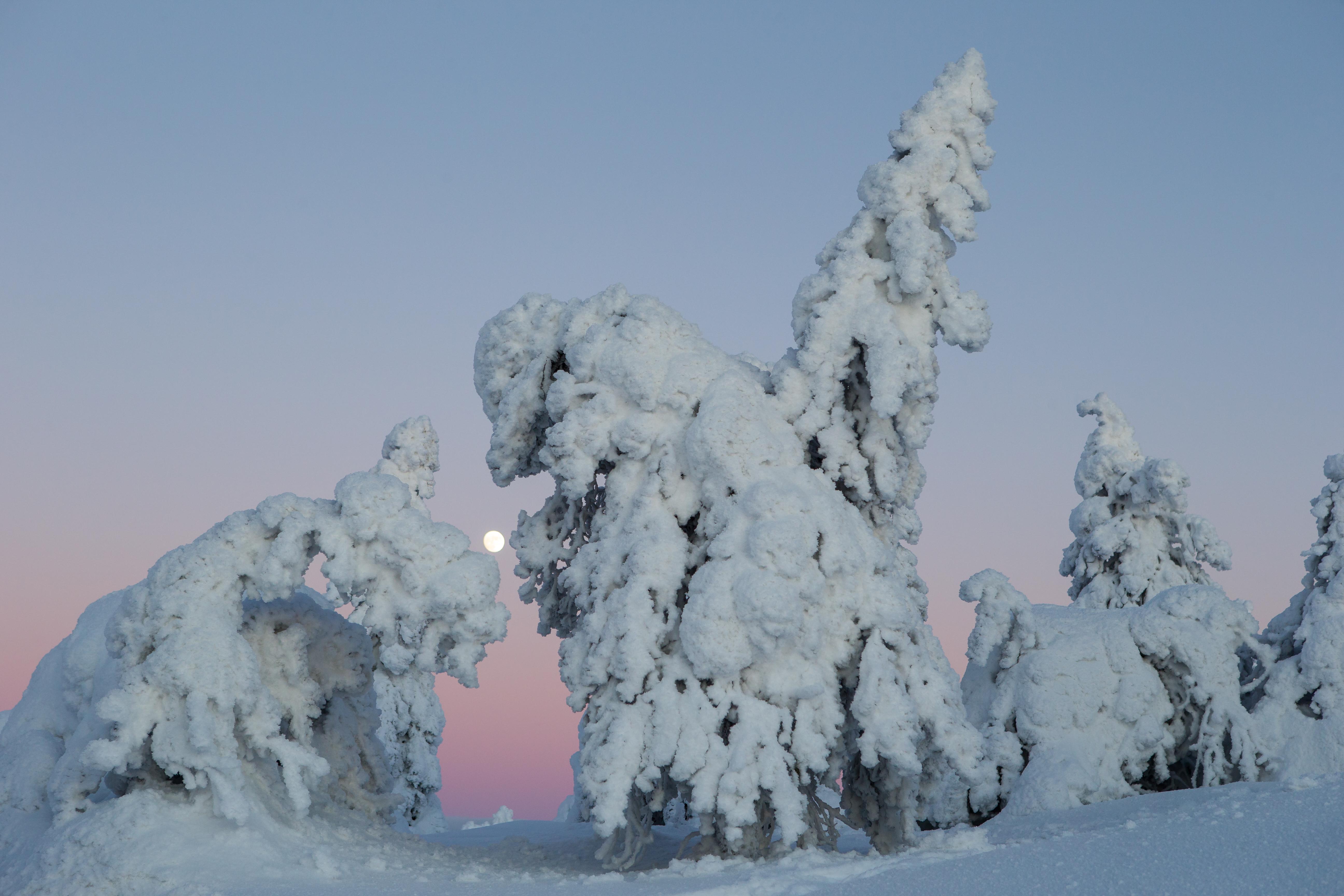 Arbres enneigés - Finlande