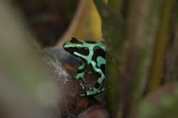 Dendrobate dorée - Costa Rica
