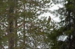 Pyguargue à queue blanche - Finlande