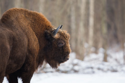 Bison d'Europe - Pologne