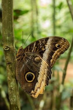 Caligo sp - Costa Rica