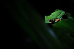 Rainette à yeux rouges - Costa Rica