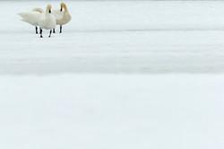 Cygnes chanteurs - Finlande