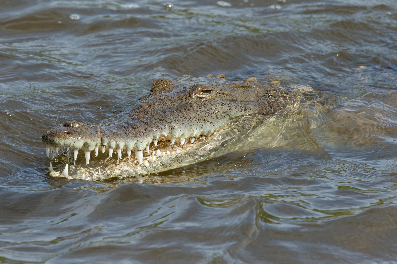 Crocodile américain - Costa Rica