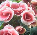 Light Pink Roses Close Up
