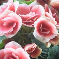 Hellrosa Rosen Close Up