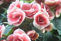 ピンク色の優しいイメージのバラの花