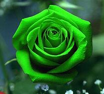 Rose verte gratuite 3.jpg