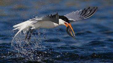 Bird eating mercury fish.jpg