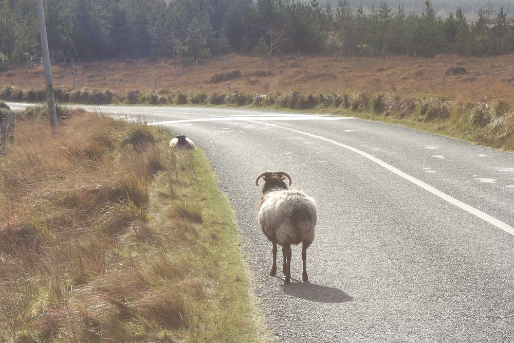 Mouton en liberté en Irlande