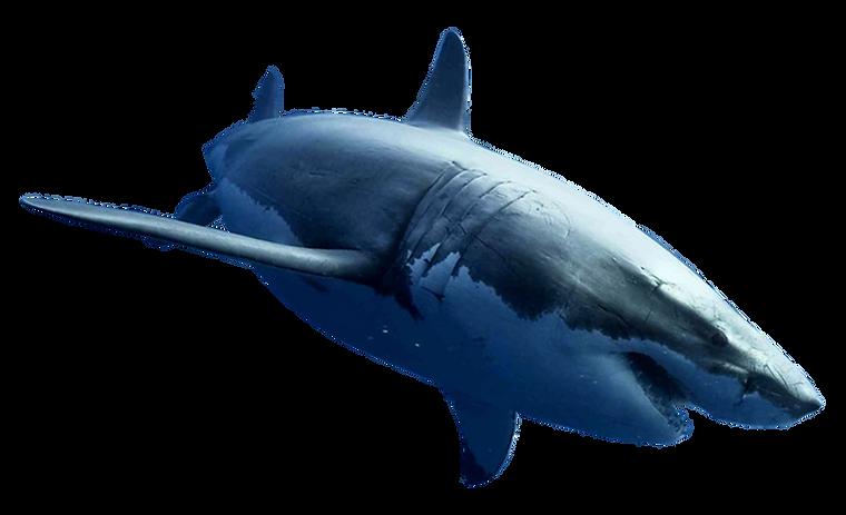 shark2.png