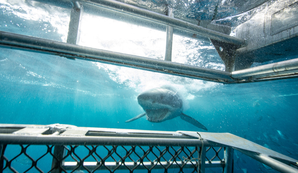 Shark cage diving in South Australia