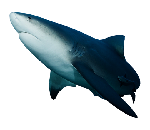 shark1.png