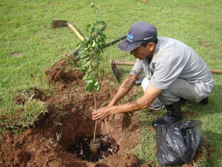 Muda de Coração de Negro que foi plantada no Seminário Bom Jesus em Aparecida
