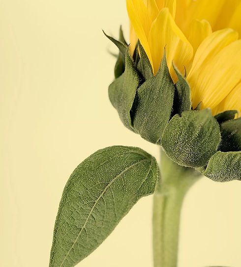 sunflower_edited.jpg