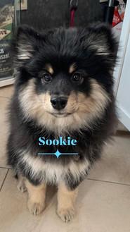 Sookie de la Perle de Laponie, 4 mois