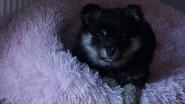 Sookie de la Perle de Laponie